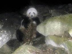 Video: Panda skips bamboo, chomps on meat feast | Strange days indeed... | Scoop.it