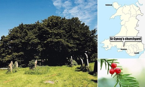 Europe's oldest tree discovered Wales - and it's 5,000 years old   Erba Volant - Applied Plant Science   Scoop.it