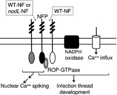 Host-specific Nod-factors associated with Medicago truncatula nodule infection differentially induce calcium influx and calcium spiking in root hairs. | bradyrhizobium diversity | Scoop.it