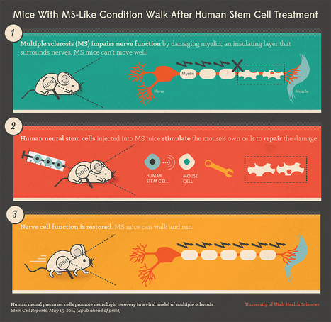 Mice with MS-like condition walk again after neural stem-cell treatment | Amazing Science | Scoop.it