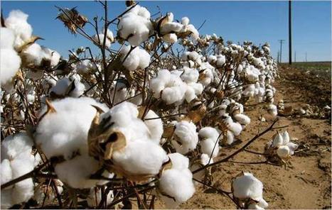 Australia : 'Bangladesh to become largest cotton importer by 2020' - Textile News Australia | Market information | Scoop.it