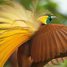 After 9 years and 18 expeditions to New Guinea, we now have pictures of every living species of bird of paradise | Amazing Science | Scoop.it