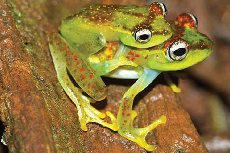 New skeleton frog from Madagascar is already Critically Endangered | Paneco Press: Species Watch | Scoop.it