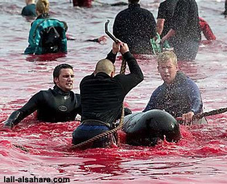 Le massacre de centaines de dauphins se perpétue dans les îles Féroé | Ainsi va le monde actuel | Scoop.it
