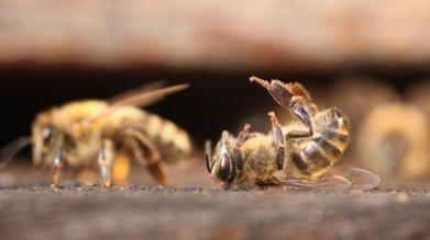 Mortalité des abeilles : difficile d'en trouver la cause exacte | Abeilles, intoxications et informations | Scoop.it