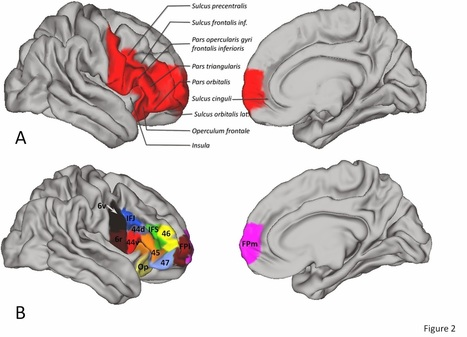 The Archaeology News Network: Brain area unique to humans linked to cognitive powers | Social Studies Infromation | Scoop.it