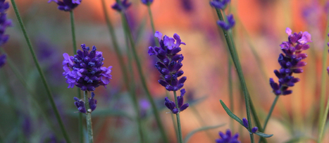 Using Lavender to Treat Anxiety   NutritionFacts.org   Plant Based Nutrition   Scoop.it