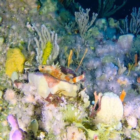 'Don't bother going overseas': Tasmanian deep sea reef revealed | ScubaObsessed | Scoop.it