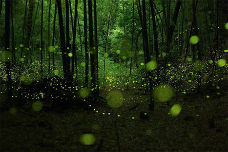 Long Exposure Photographs of Fireflies in the Forests of Nagoya City by Yume Cyan | Colossal | DigitAG& journal | Scoop.it