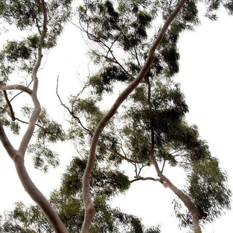 Gold grows on eucalyptus trees: study | Erba Volant - Applied Plant Science | Scoop.it
