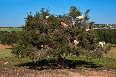 The Strange Tree Climbing Goats ( Tamri Goats ) of Morocco | Travel and Tourism | Scoop.it