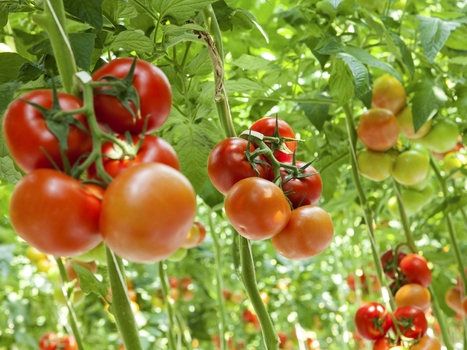 Hydroponic Tomatoes May One Day Be Tastier Than Ones Grown Outside | NPR | CALS in the News | Scoop.it