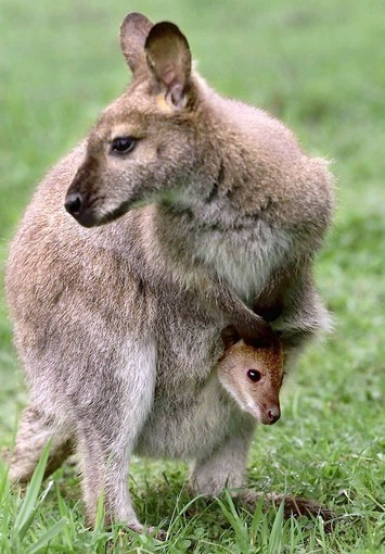Research sheds light on the eco-friendly wallaby | MicrobiologyBytes | Scoop.it