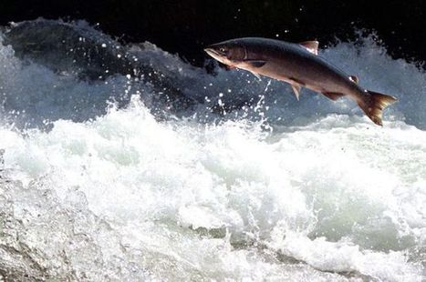 BBSRC mention: Light is shed on amazing migration of salmon | BIOSCIENCE NEWS | Scoop.it