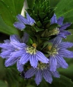 Patriotic plants for your garden - The West Australian   Australian Plants on the Web   Scoop.it