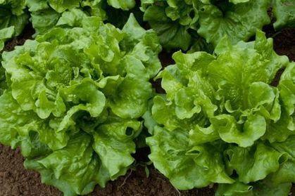 Les salades, première cause d'empoisonnement aux USA | Alimentation Santé Environnement | Scoop.it