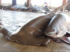 Is shark finning illegal? - Sea Shepherd. | Sharks | Scoop.it