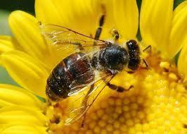 Information about Bees, Wasps, Hornets, Honey Bees & Yellowjackets | The Bee Hunter | Bee Exterminator | Scoop.it