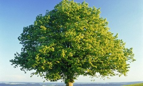 Britain's oak trees under threat from deadly Xylella plant pest | Sustainable Forestry | Scoop.it
