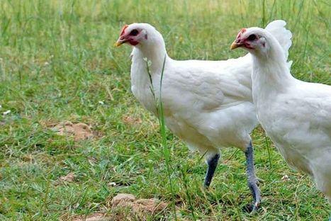 De nouveaux cas de grippe aviaire détectés en Europe - L'Usine des Matières premières | Grands Risques d'Entreprise | Scoop.it