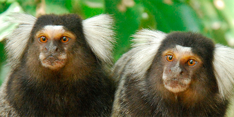 A Marmoset Never Forgets | Strange days indeed... | Scoop.it