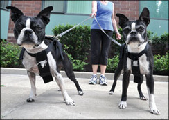 Problems Associated With Adopting Two Puppies at the Same Time - Whole Dog Journal Article | Dog Training - Mark Mendoza | Scoop.it