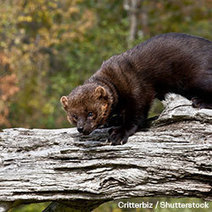 Protect the Pacific Fisher from Imminent Extinction | GarryRogers Biosphere News | Scoop.it