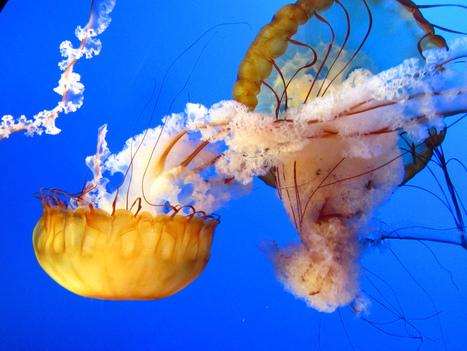 Mangeons des méduses pour sauver les poissons de Méditerranée ! | Tout le web | Scoop.it
