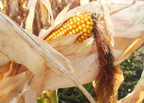 Trabajar en la coexistencia entre cultivos transgénicos y cultivos ecológicos   Seguridad Alimentaria - YoComproSano   Scoop.it
