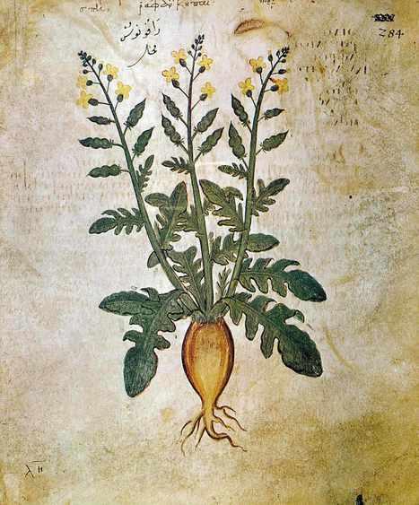 Le « Dioscoride de Vienne » a 1500 ans | Insula | Merveilles - Marvels | Scoop.it