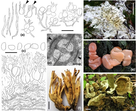 Sebacinales – one thousand and one interactions with land plants | MycorWeb Plant-Microbe Interactions | Scoop.it