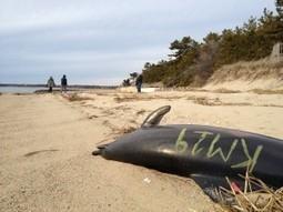Unprecedented Dolphin Strandings Wear Rescuers Thin | Indigo Scuba | Scoop.it