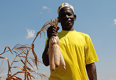 Mali develops, releases early maturing hybrid maize | Parasitic Plants | Scoop.it
