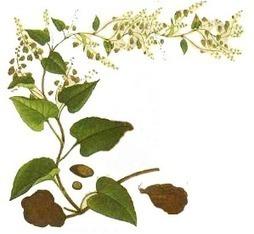 Renal-disease: Herbal medicine (Polygonum multiflorum) for End Stage Renal   How Does Cysts Rupture Occur in PKD   Scoop.it