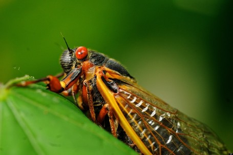 Sex-Crazed Zombie Cicadas EXPLAINED | fitness, health&nutrition | Scoop.it