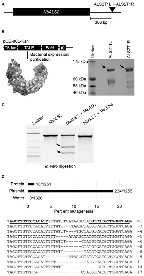 Non-transgenic Plant Genome Editing Using Purified Sequence-Specific Nucleases: Molecular Plant | plant molecular biology | Scoop.it