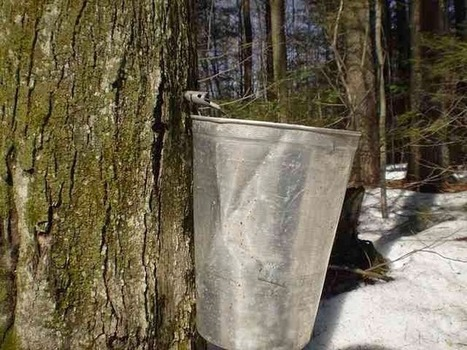 Free Technology for Teachers: The Making of Maple Syrup | Education | Scoop.it
