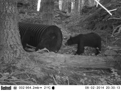 Black bears flirting with hibernation in new man-made dens on Vancouver Island - The Province | Reflections on two islands | Scoop.it