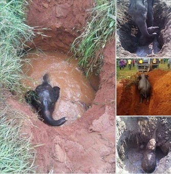 Check out what a desperate mother Elephant did after her calf got trapped in a well. (Photos) | Pachyderm Magazine | Scoop.it