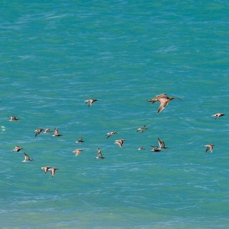 Millions of shorebirds are flying for their lives | VCE Environmental Science | Scoop.it