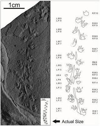 World's Smallest Known Fossil Vertebrate Footprints From Small Amphibian Roaming Earth 315 Million Yrs Ago | Amazing Science | Scoop.it