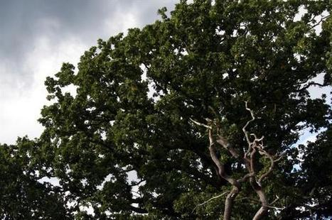 Oak health and Phytophthora control projects get £2m | Research | Scoop.it