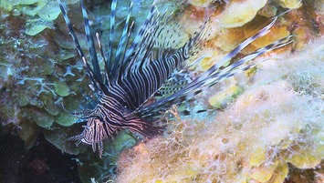 Video: ​Lionfish: From malicious to delicious | #oceans #scuba | Scuba Diving | Scoop.it