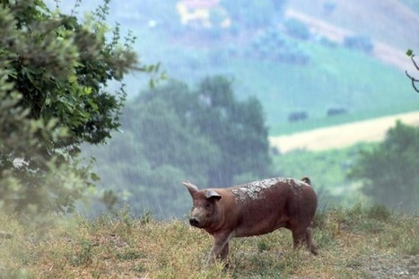 The good life and the good end of certain pigs in Le Marche | Le Marche and Food | Scoop.it