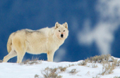 19 Wolves Killed in Lolo | Animals - fact and fiction | Scoop.it