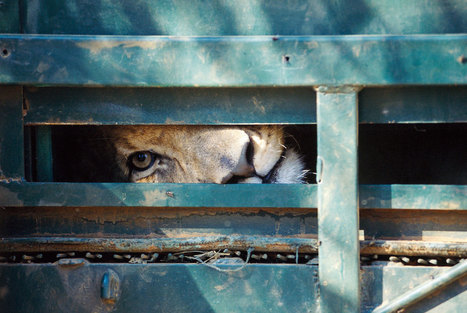 Inside the Grim Lives of Africa's Captive Lions | Nature Animals humankind | Scoop.it