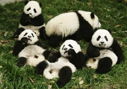 Poisson (d'avril) et panda (des Pyrénées) | Vegactu - végétarien, végétalien et végan | Scoop.it
