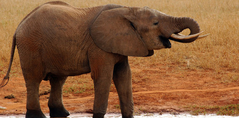 TV Episode: Earth Focus - Illicit Ivory | Wildlife Trafficking: Who Does it? Allows it? | Scoop.it