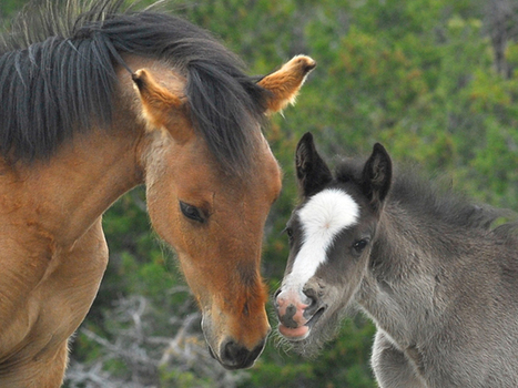 The case of the missing mustangs; what happened to 1,700 wild horses? | Horses | Scoop.it