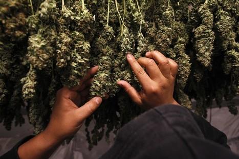Reclassifying pot could usher in a new era in medical marijuana research | Ocular Studies | Scoop.it